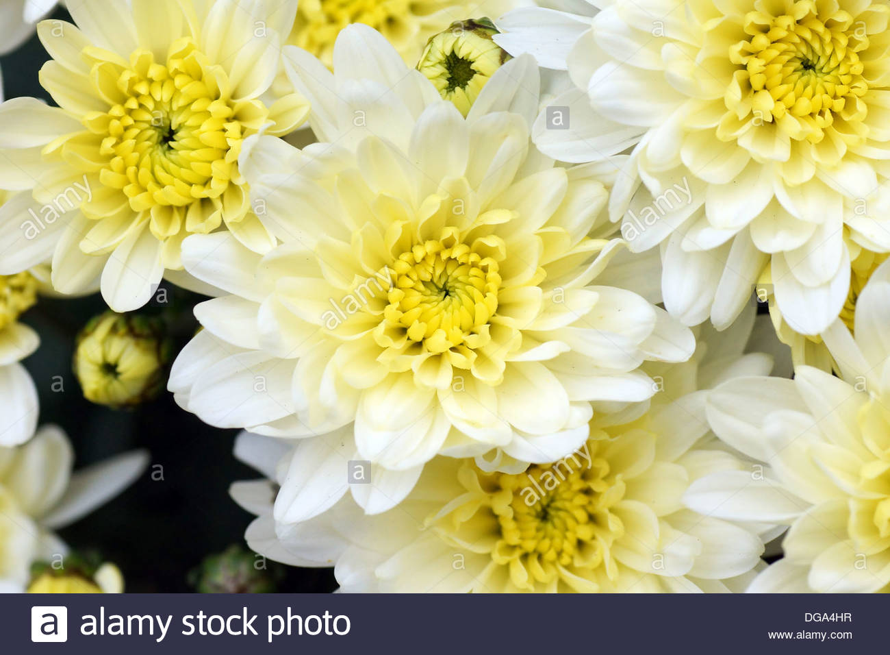 White and yellow mums flowers beautiful floral background Stock 1300x956