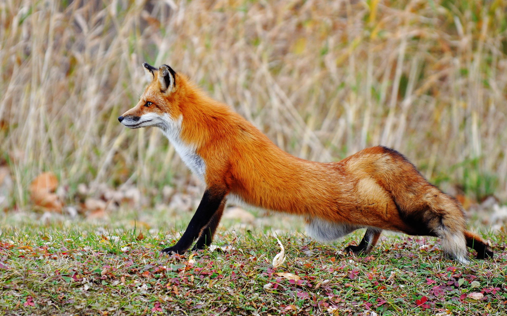 Fox hunting wallpapers and images - wallpapers, pictures, photos
