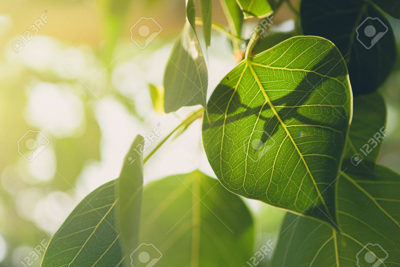 Beautiful Green Bo Leaf On Background With SunriseLeaves Of 1300x867