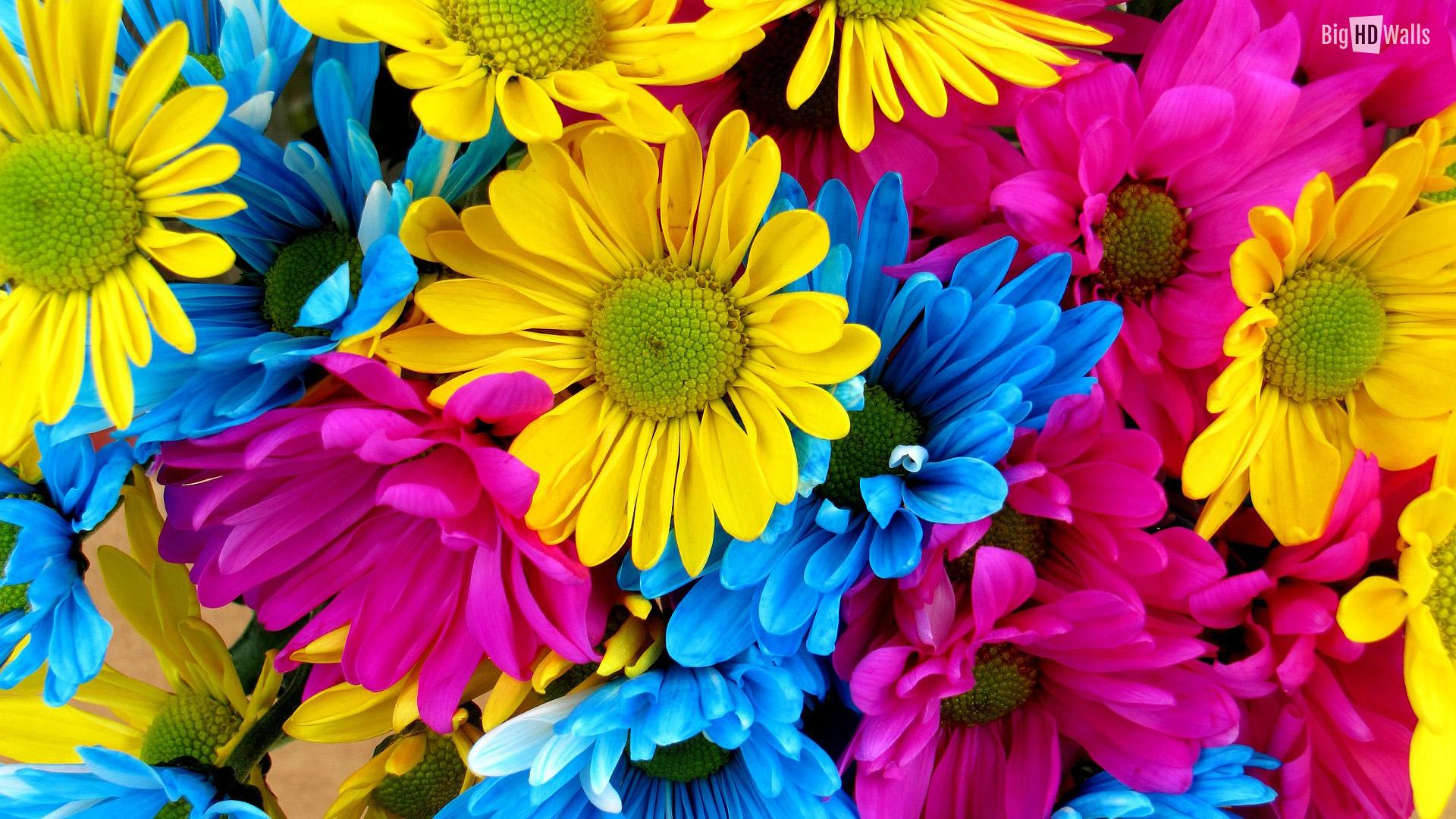 Free Colorful Flower Wallpaper Downloads: Gerber Daisy Desktop Wallpaper