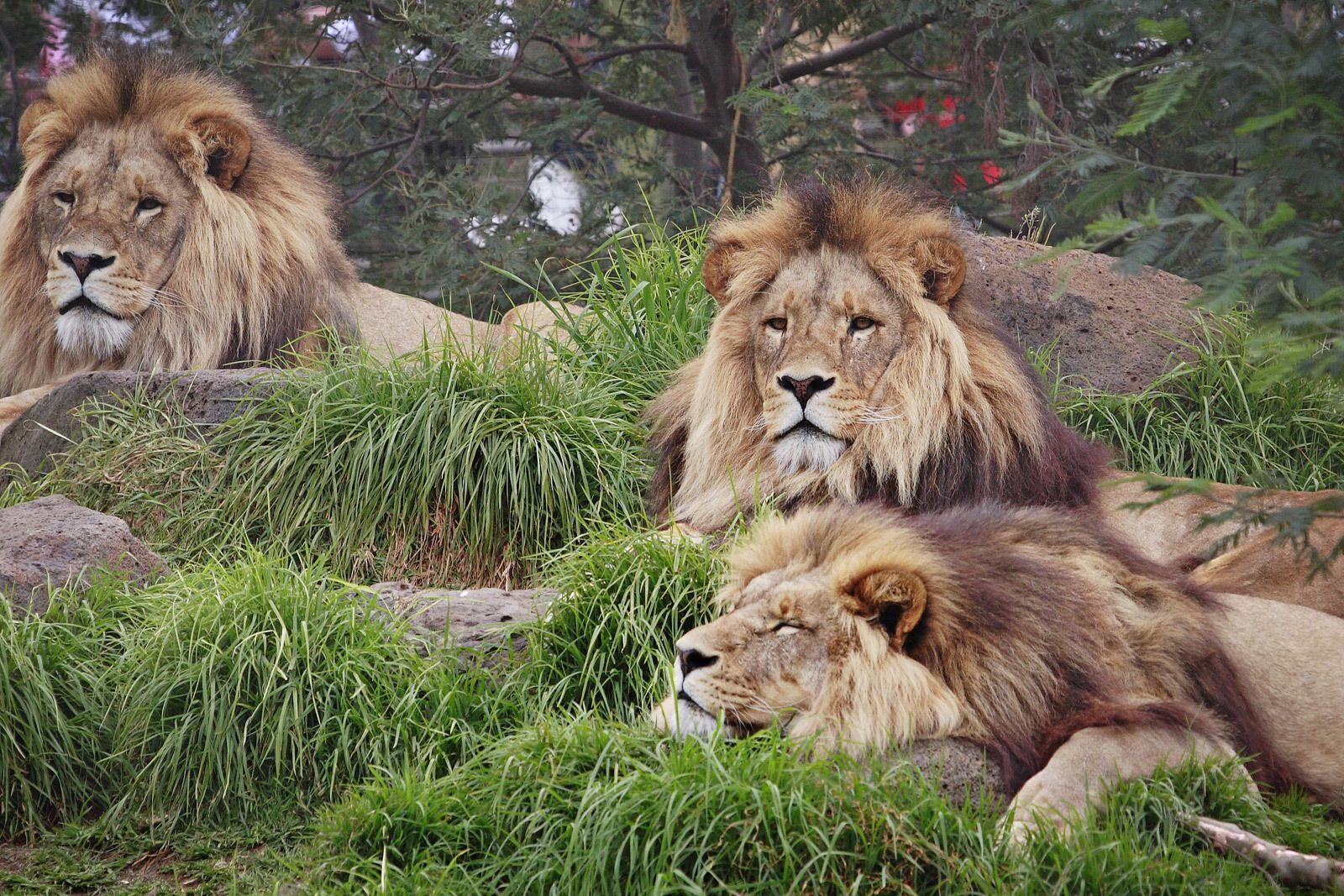 Lion Wallpaper disney trip Lion wallpaper Lion images Lions 1600x1067