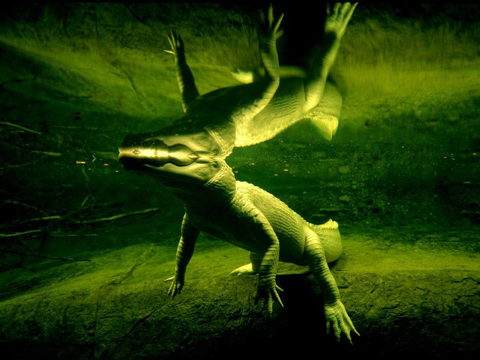 White Alligator 989x742