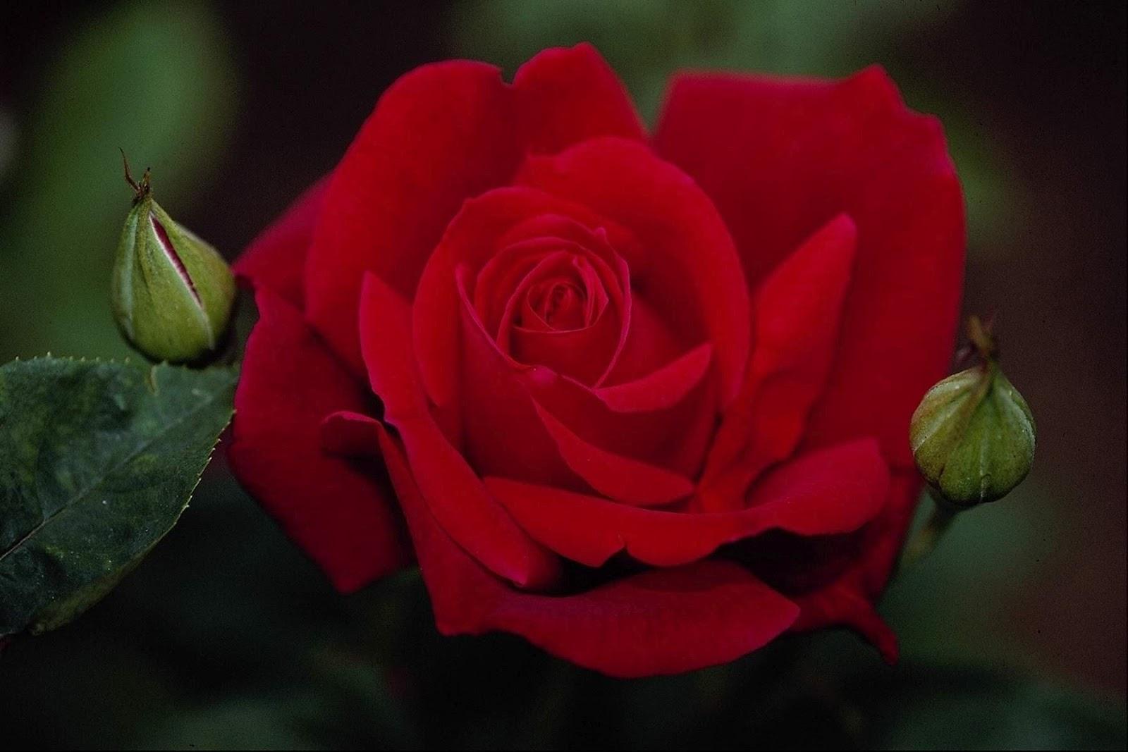 50 most beautiful rose flowers wallpapers on - Beautiful rose wallpaper ...