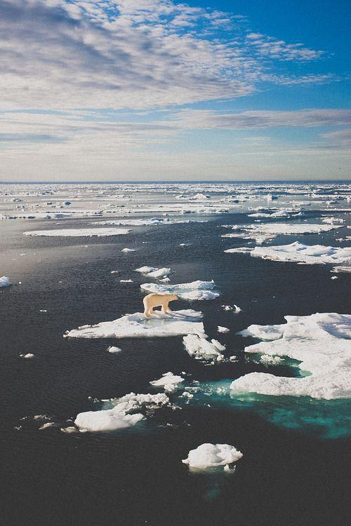 Polar bear iphone wallpaper animal lover Pinterest 500x750