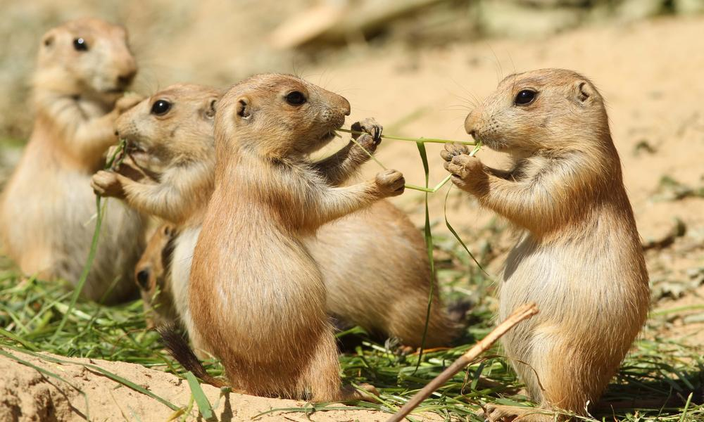 8 surprising prairie dog facts Stories WWF 1000x600