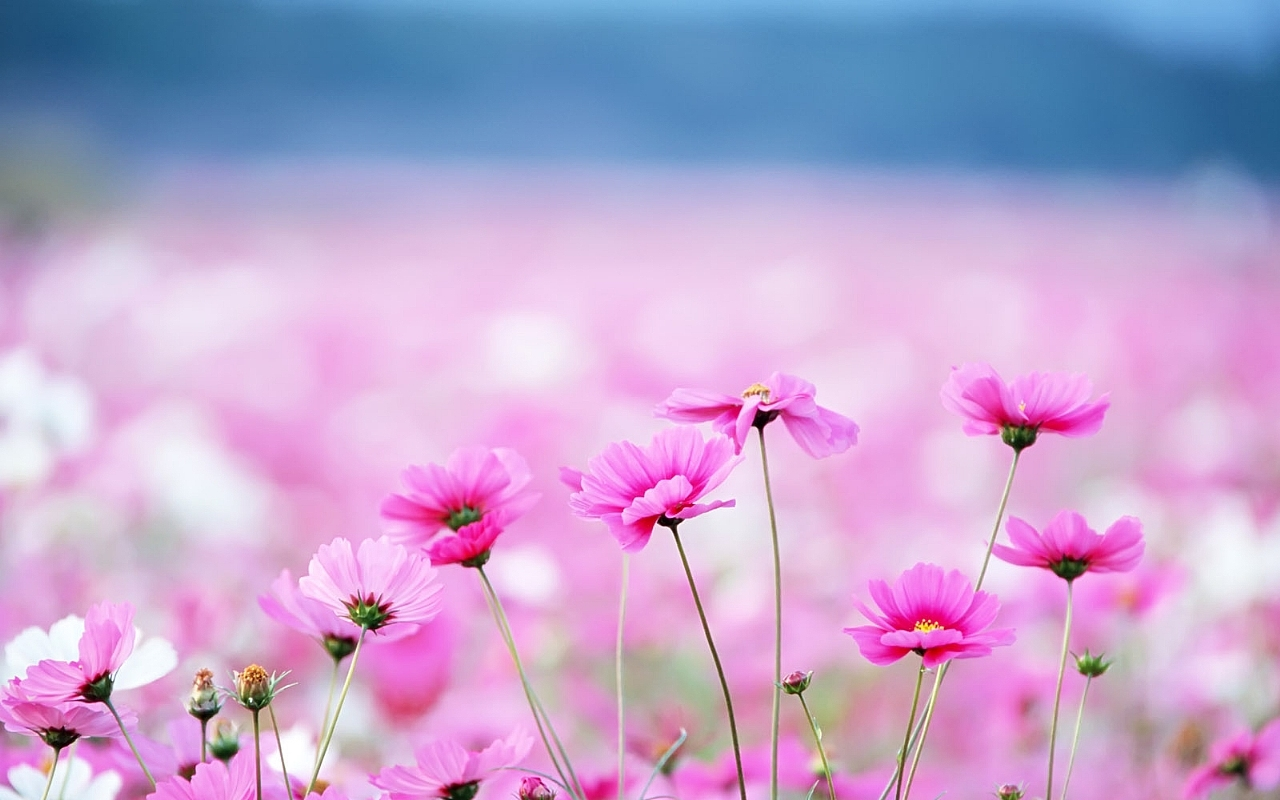 Hd 1280x800 Cute Pink Flowers Desktop Wallpapers Backgrounds 1280x800