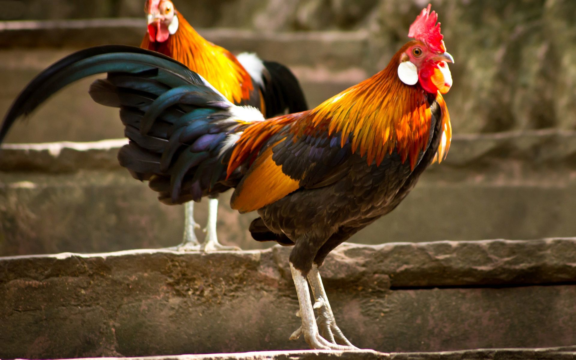 Roosters wallpaper   1378482 1920x1200