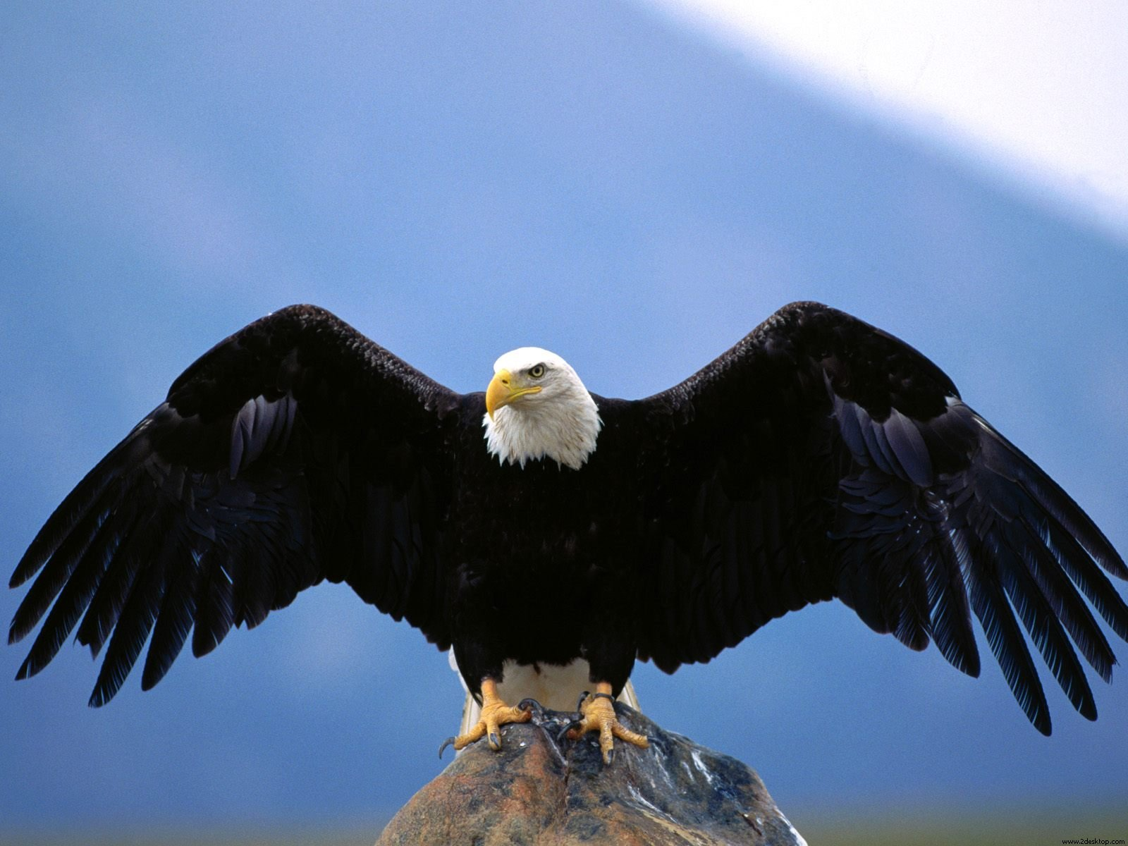 72 Free Bald Eagle Wallpaper On Wallpapersafari