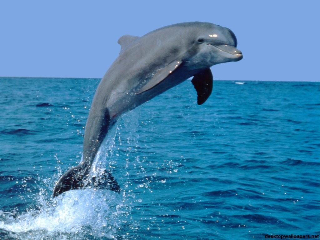 Dolphin Desktop Wallpaper 10514 Hd Wallpapers in Animals   Imagesci 1024x768