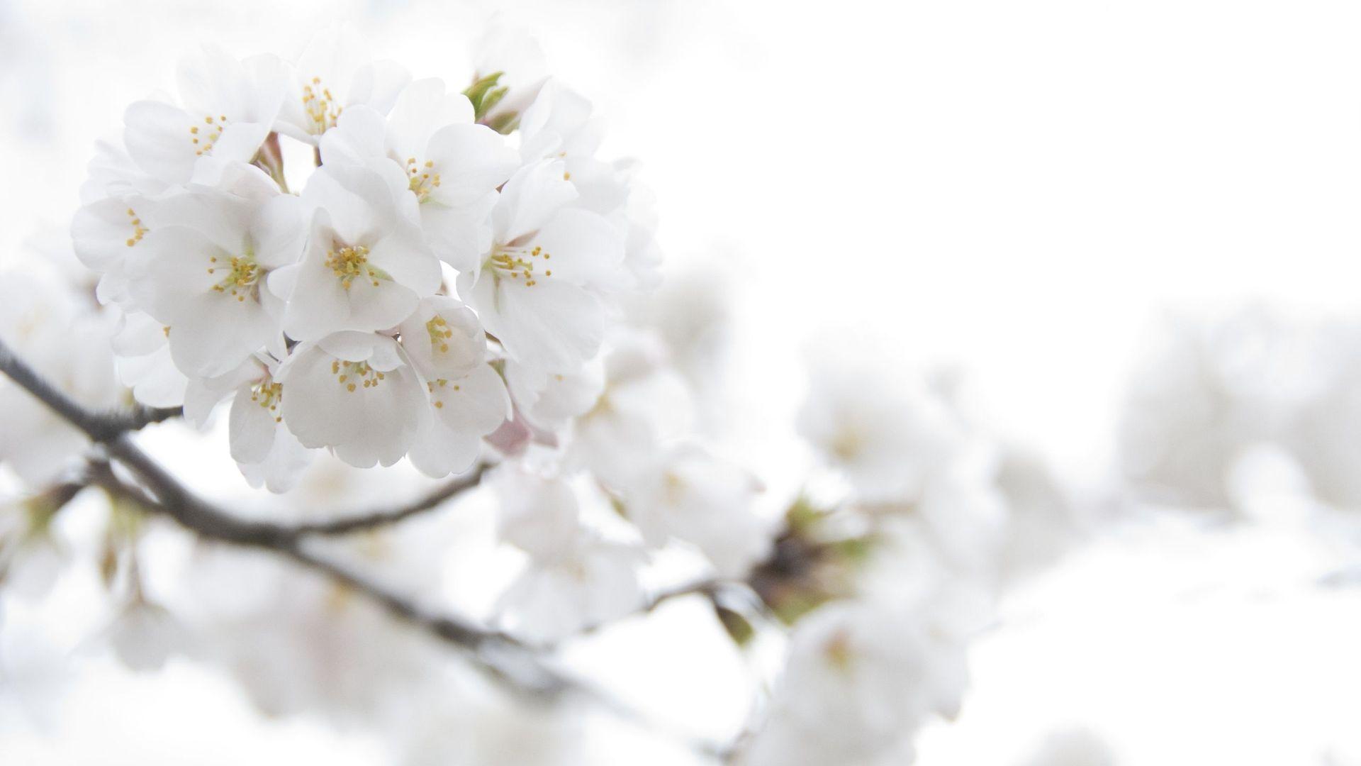 White Flower Hd Wallpaper Wallpapers