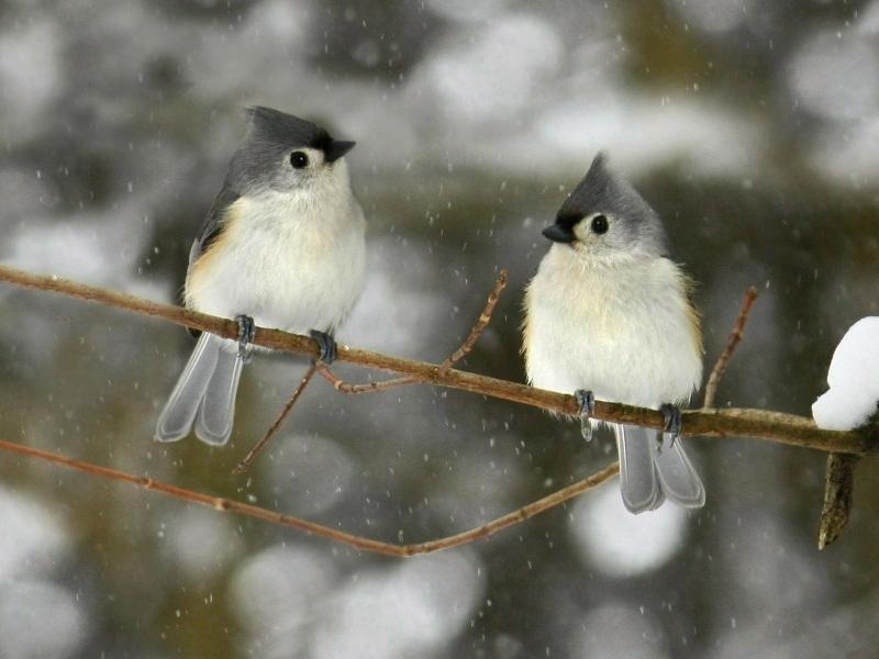 Description winter birds Wallpaper 800x600