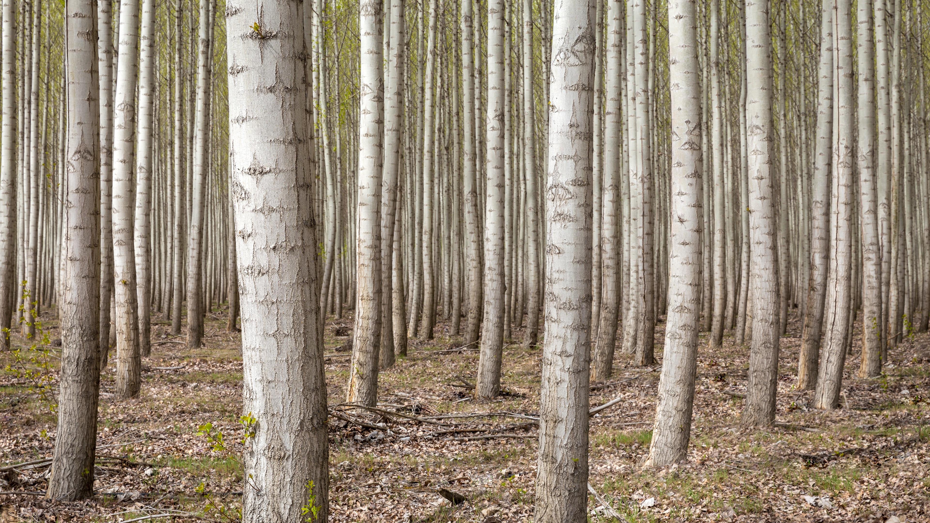 Dense Forest Trees 4K Ultra HD Desktop Wallpaper Uploaded by 3840x2160
