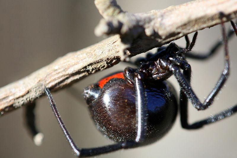 Black Widow Spider Pictures Wallpapers   Wallpaper 4 of 6 800x533