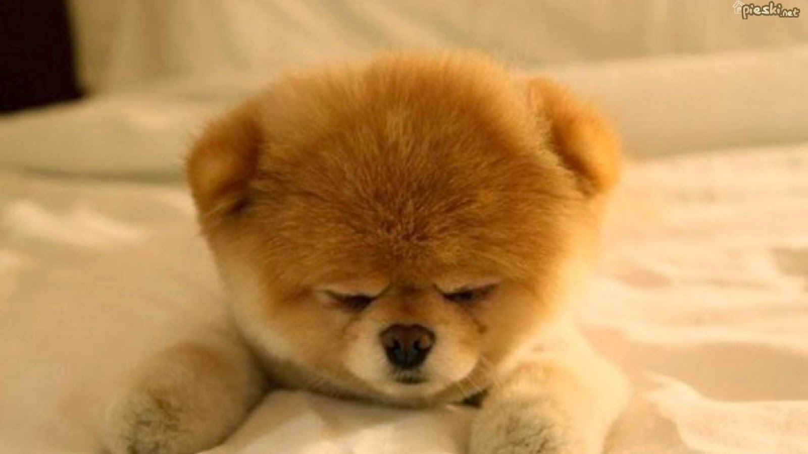 1600x900px Pomeranian Dog Wallpaper To Download Wallpapersafari