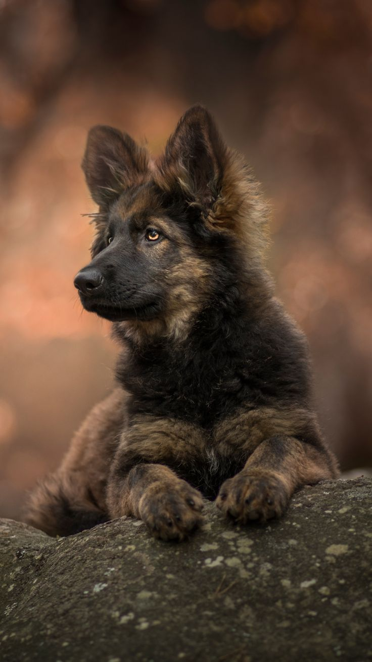 Tier Deutscher Schferhund 1080x1920 Mobile Wallpaper GSD 736x1308