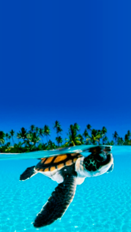 Showing Gallery For Cute Turtle Iphone Wallpaper 423x750
