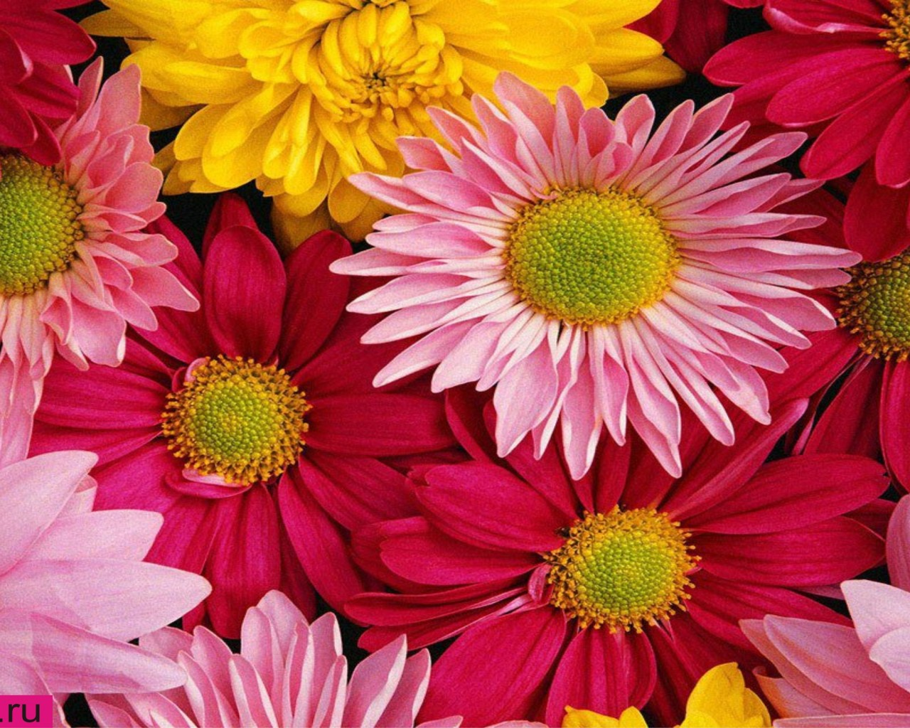 Pink Gerbera Daisy Wallpaper Pink Gerbera Flower Wallpaper 1280x1024