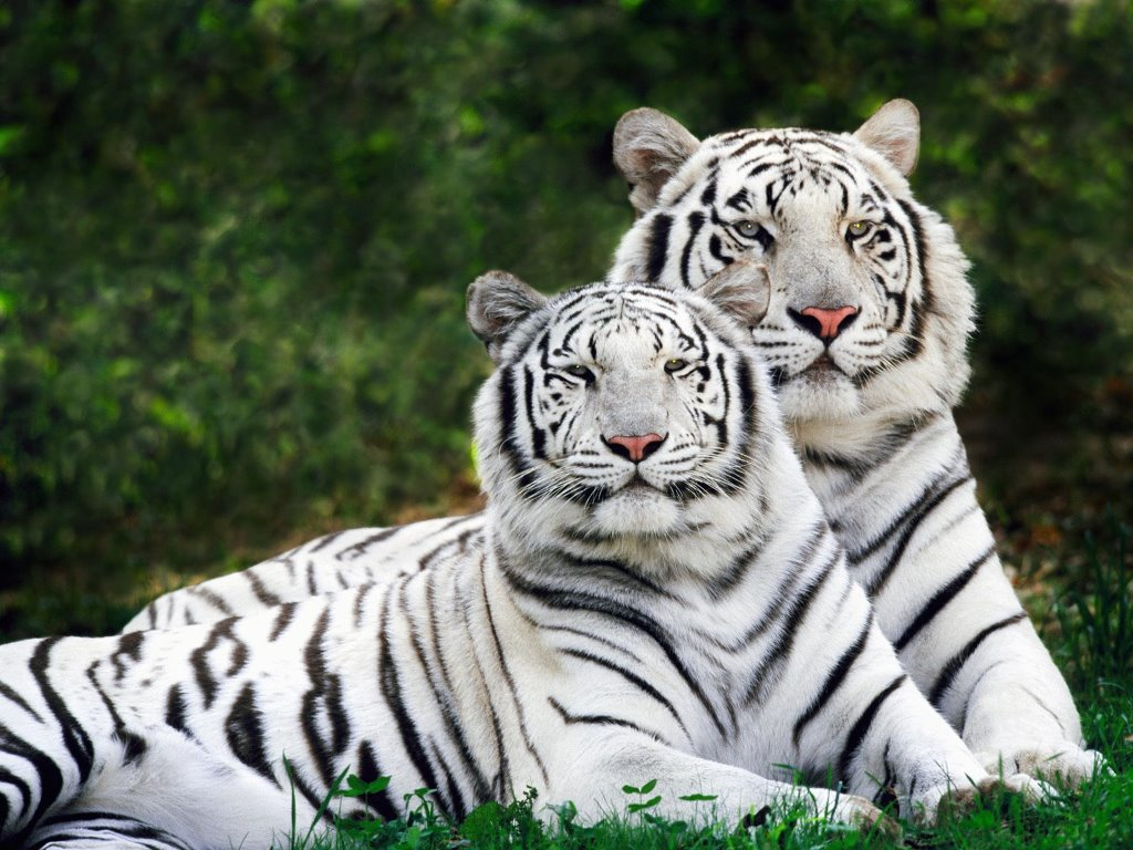 white bengal tiger sweet white bengal tiger sweet white bengal tiger 1024x768
