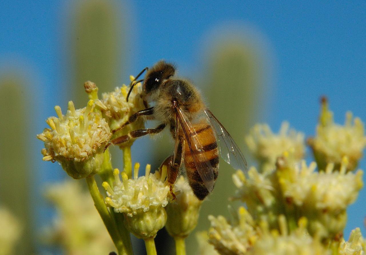 Honey Bee Pictures 1280x892
