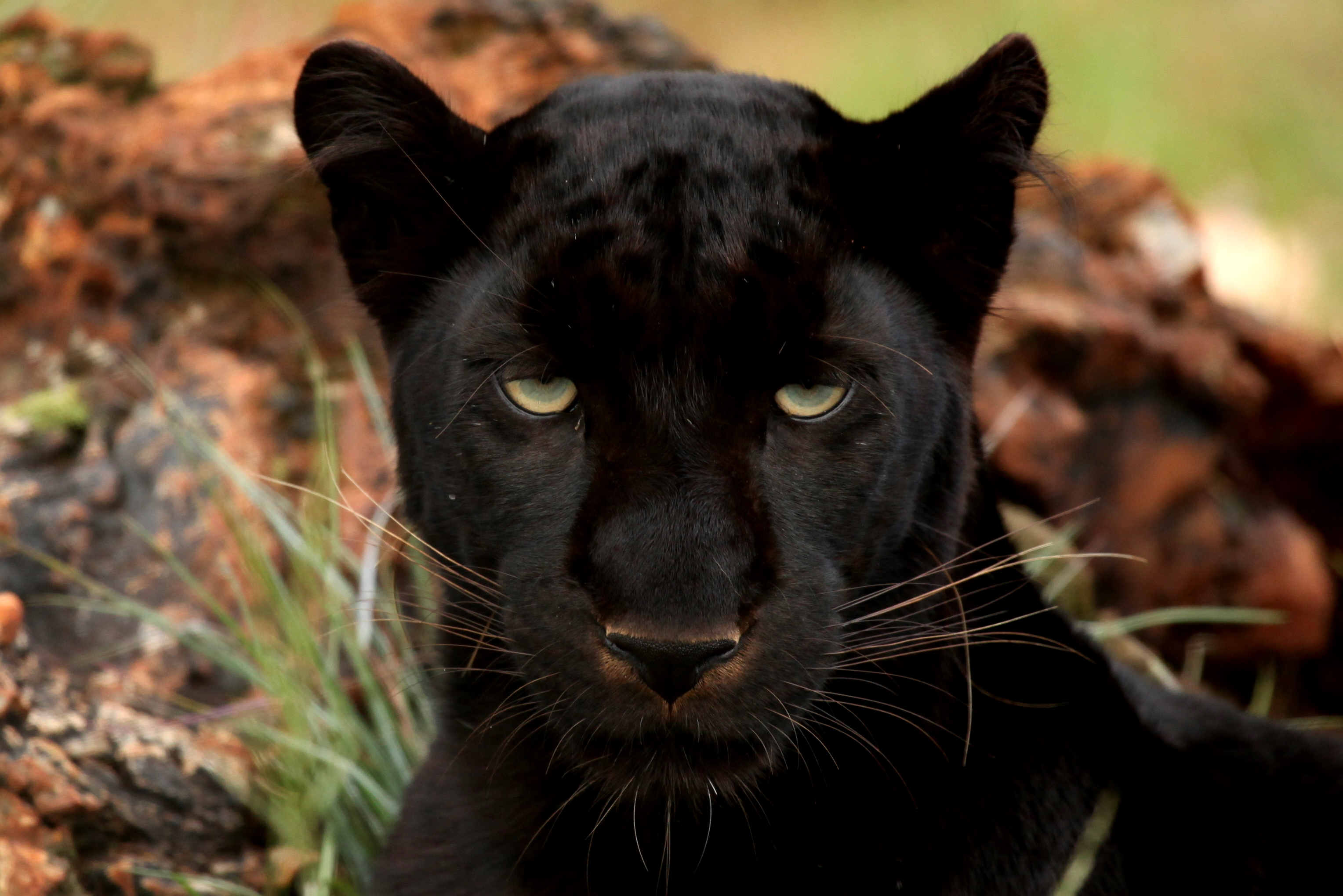 Description Black PantherJPG 3056x2040
