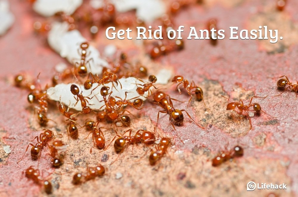 How To Get Rid Of Fire Ants PC Android iPhone and iPad Wallpapers 1000x662