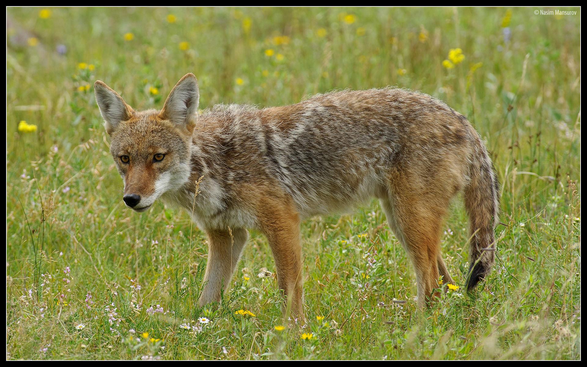 coyote wallpaper wallpapersafari
