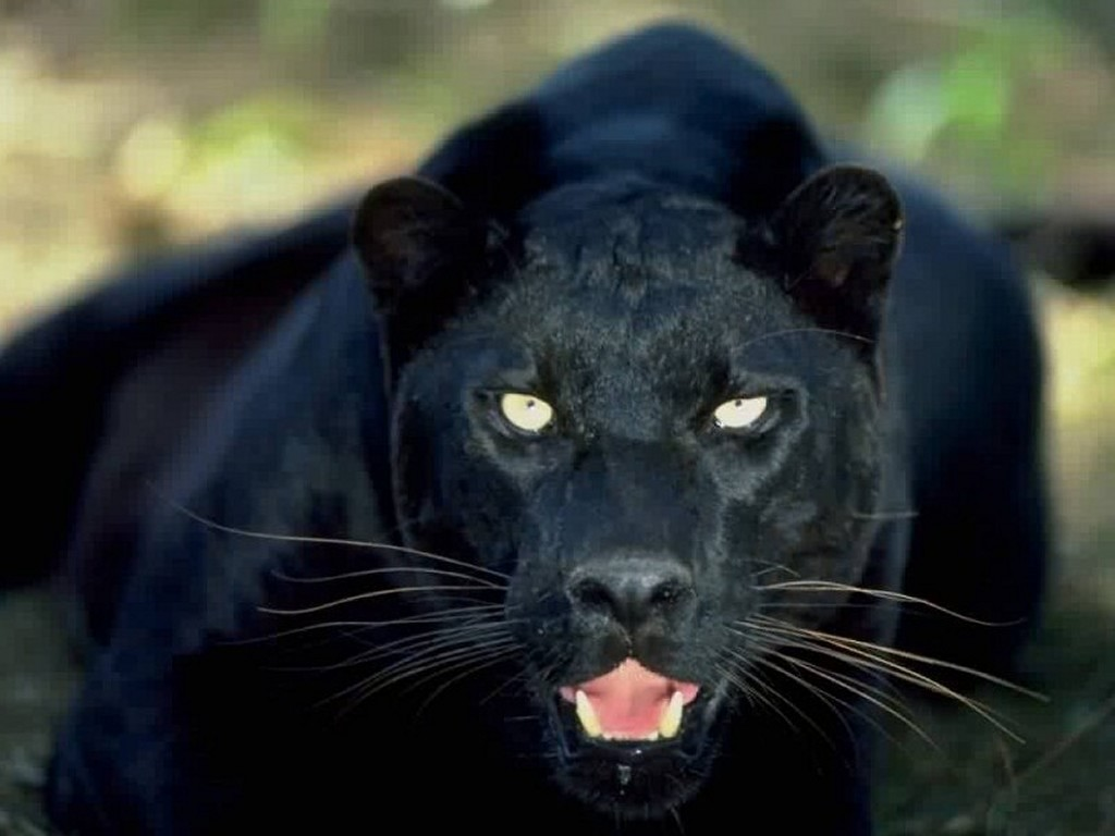 Animals Zoo Park Black Panther Wallpapers   Animals Hq 1024x768