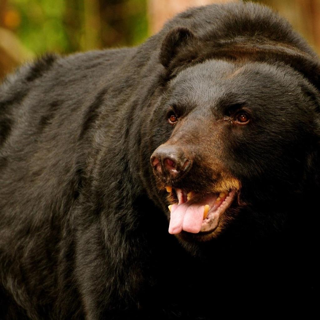 Black Bear HD Wallpaper