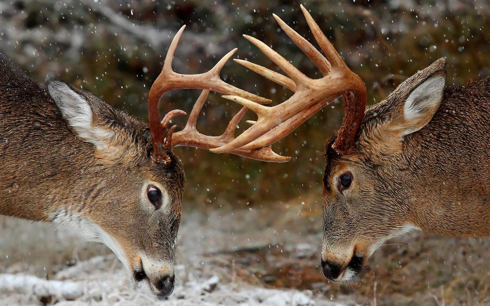 Beautiful Wallpapers deer wallpaper 1600x1000