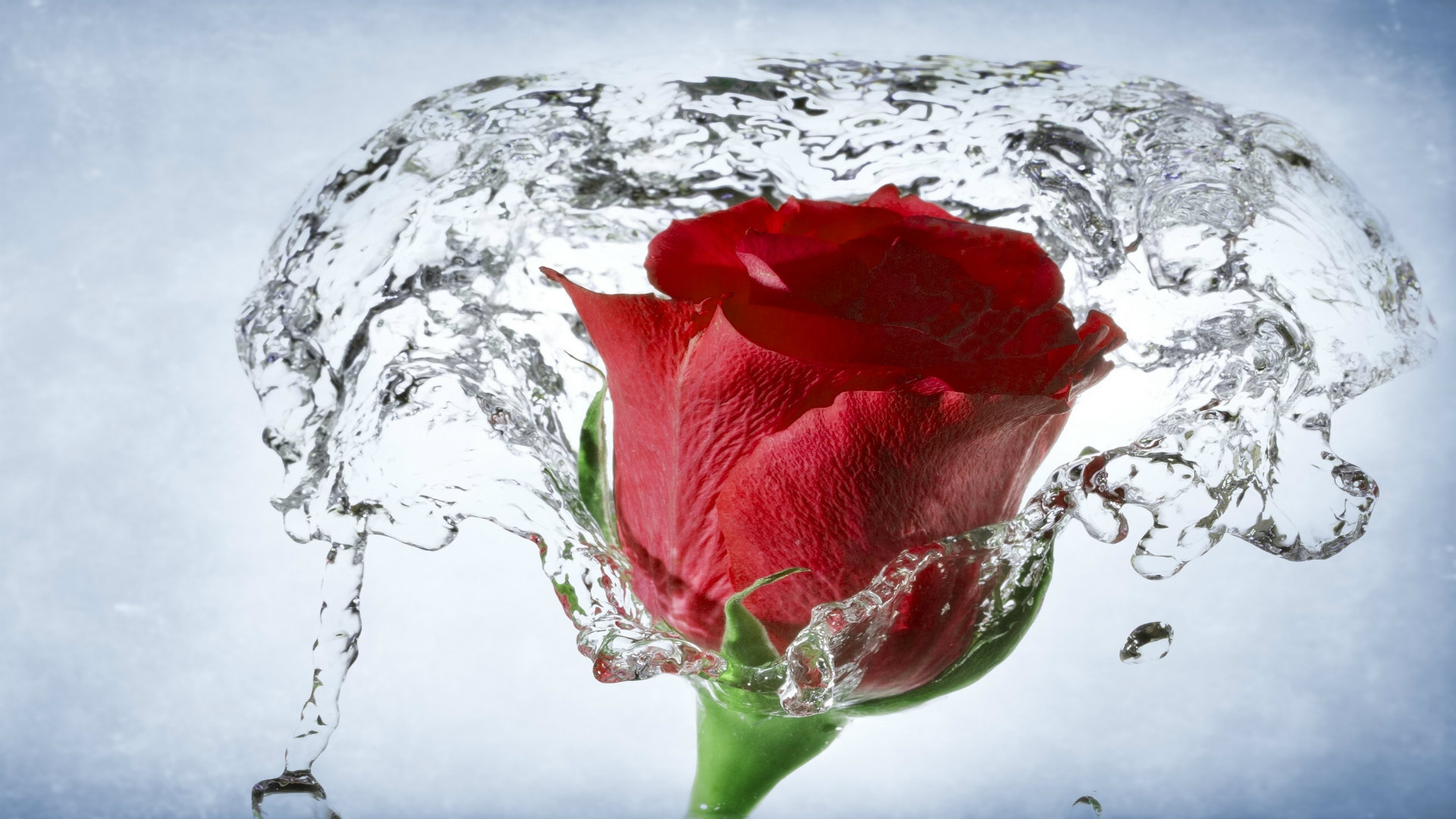 Free Red Rose Wallpaper Wallpapersafari