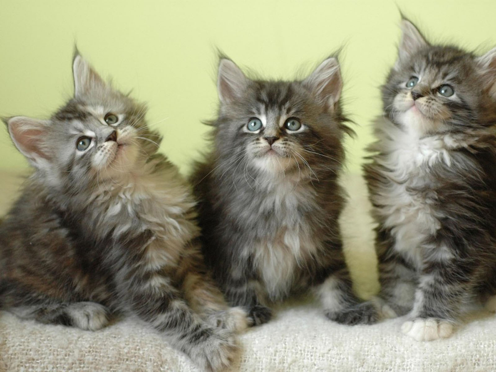 wallpapers Maine Coon kittens 1600x1200