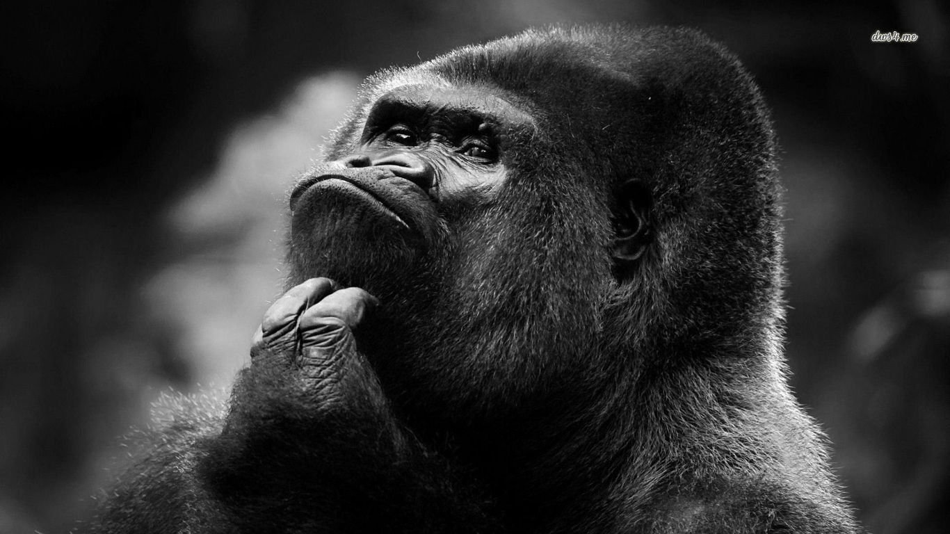 Animal   Gorilla Wallpaper 1366x768