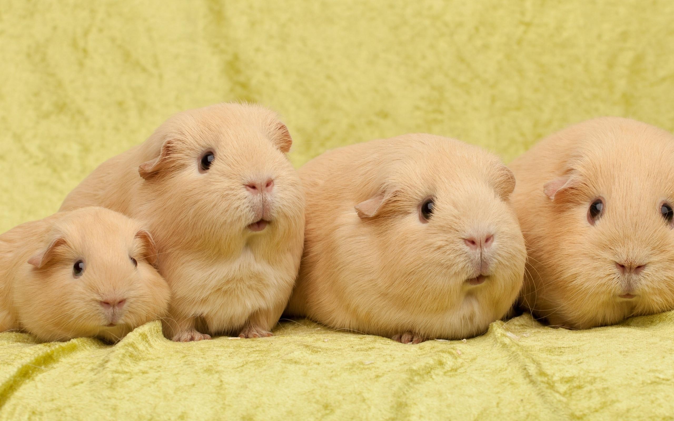 Guinea Pig Wallpaper 825143 Guinea Pig Wallpaper 825092 Guinea Pig 2560x1600