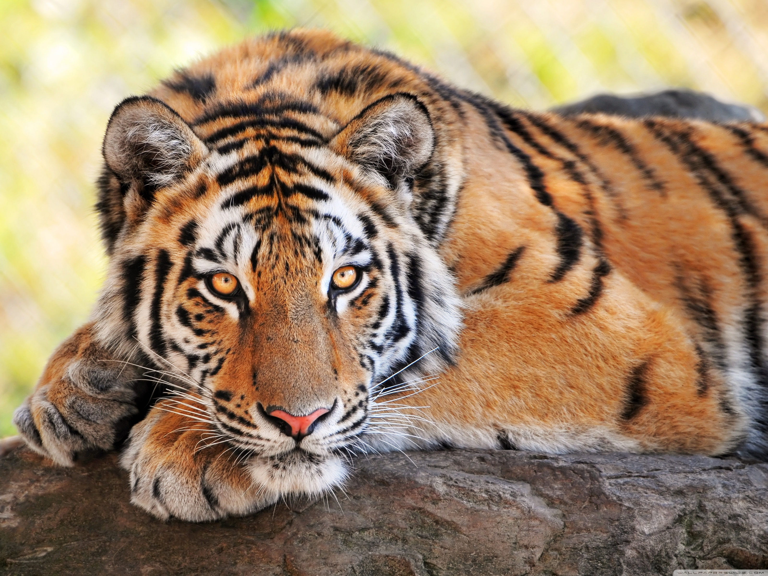 57 Beautiful Tiger Desktop Wallpaper On Wallpapersafari