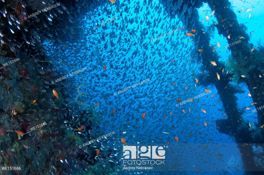 large school of fish Pigmy Sweepers Parapriacanthus ransonneti 1050x697