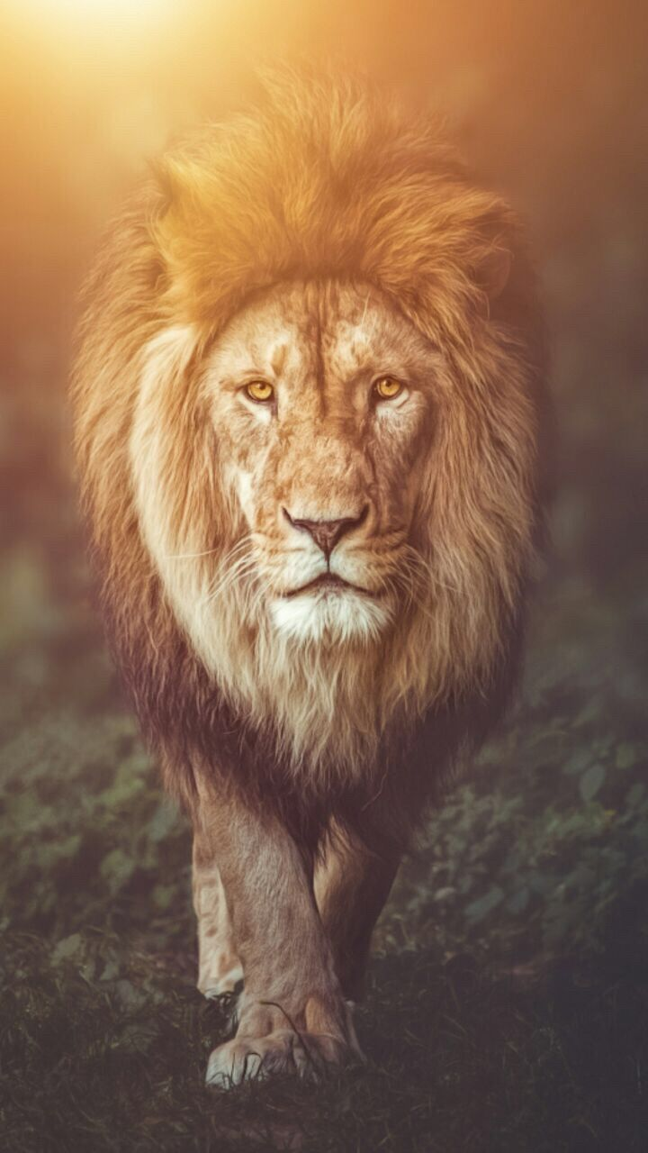 Lion Wallpaper background wallpapers in 2019 Lion wallpaper 720x1280