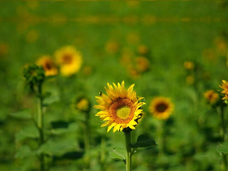 Field of Sunflowers wallpaper   ForWallpapercom 800x600