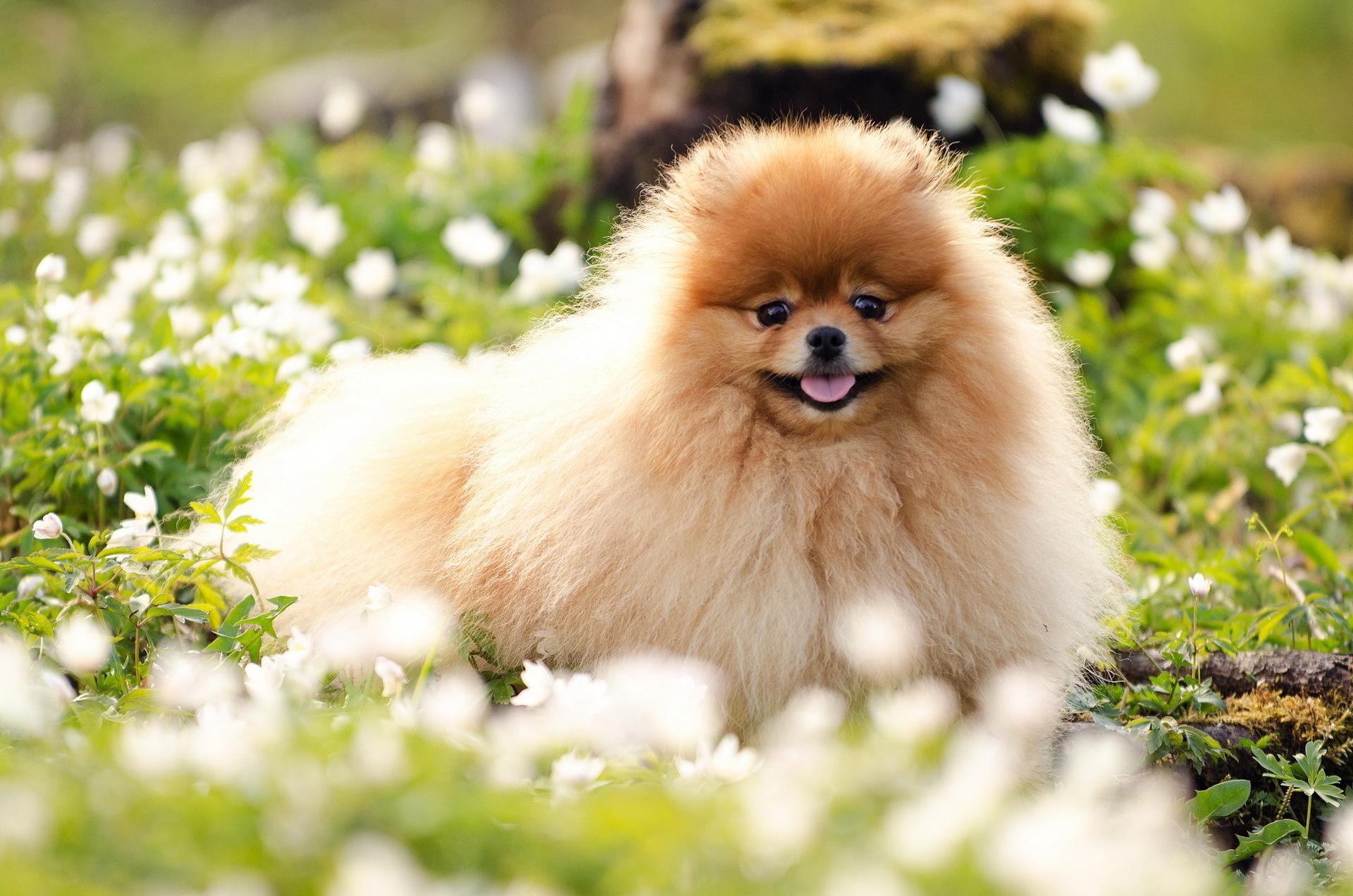 Cute Light Golden Retriever Summer Puppy Wallpaper...