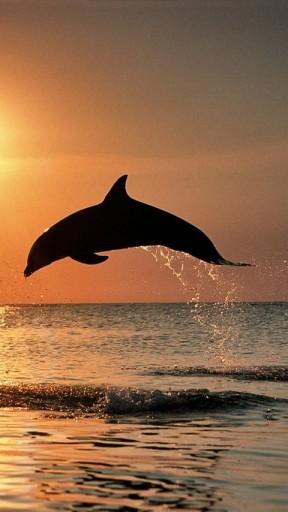 Wallpaper Dolphin Sunset Wallpapersafari