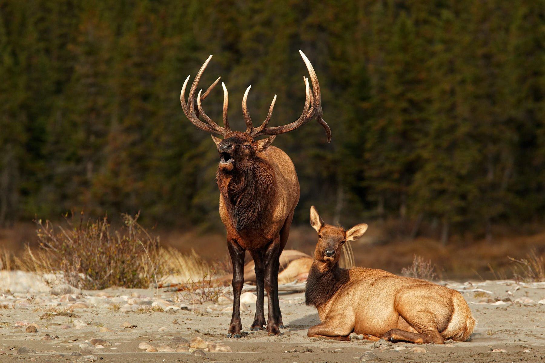 Free download bull elk elks deer 34