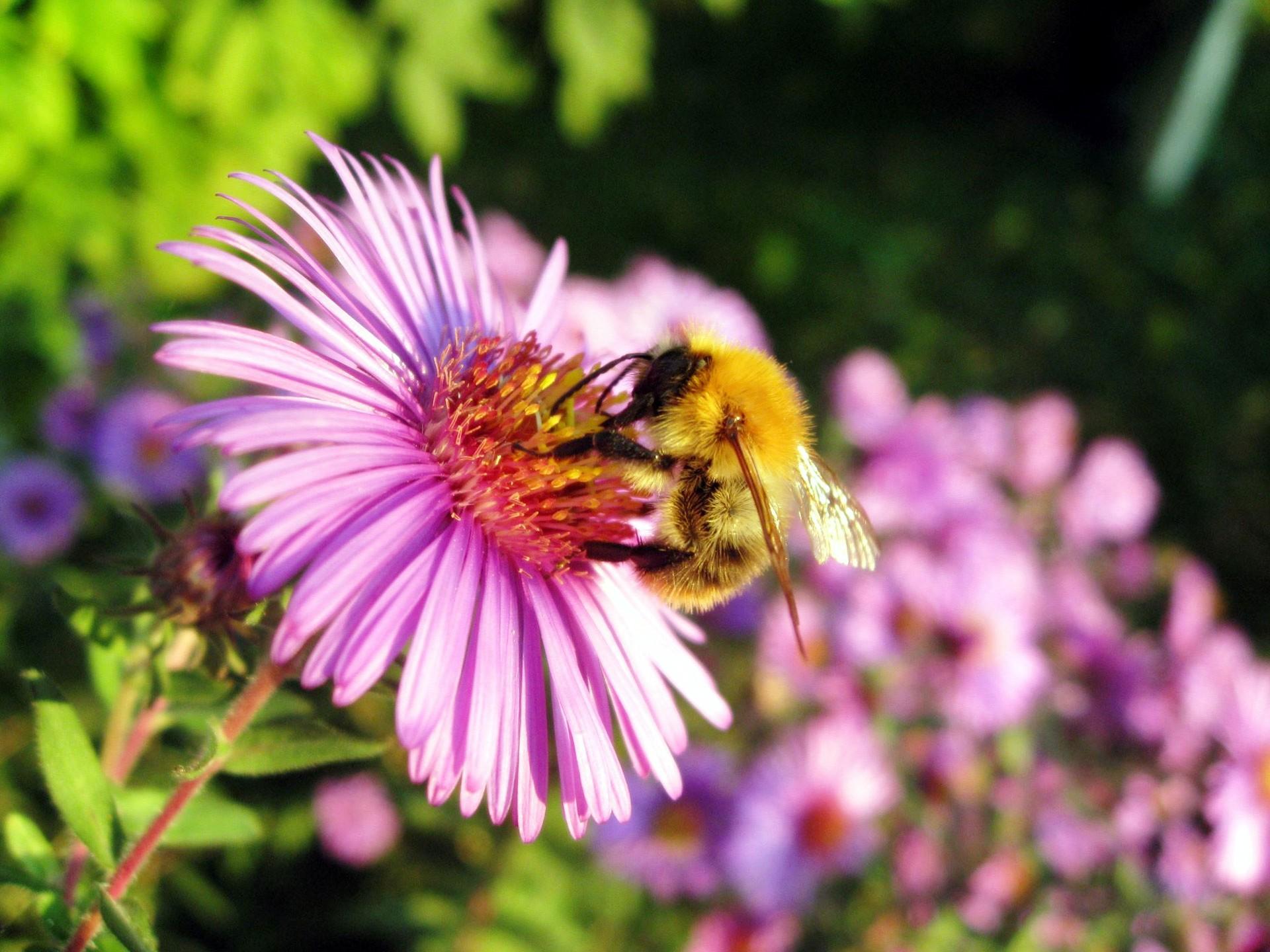 Honey Bee Wallpapers HD Wallpapers 1920x1440