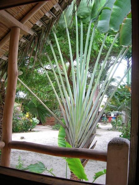 Banana Fan Palm in Hotel Bambu Canoa Photo 450x600