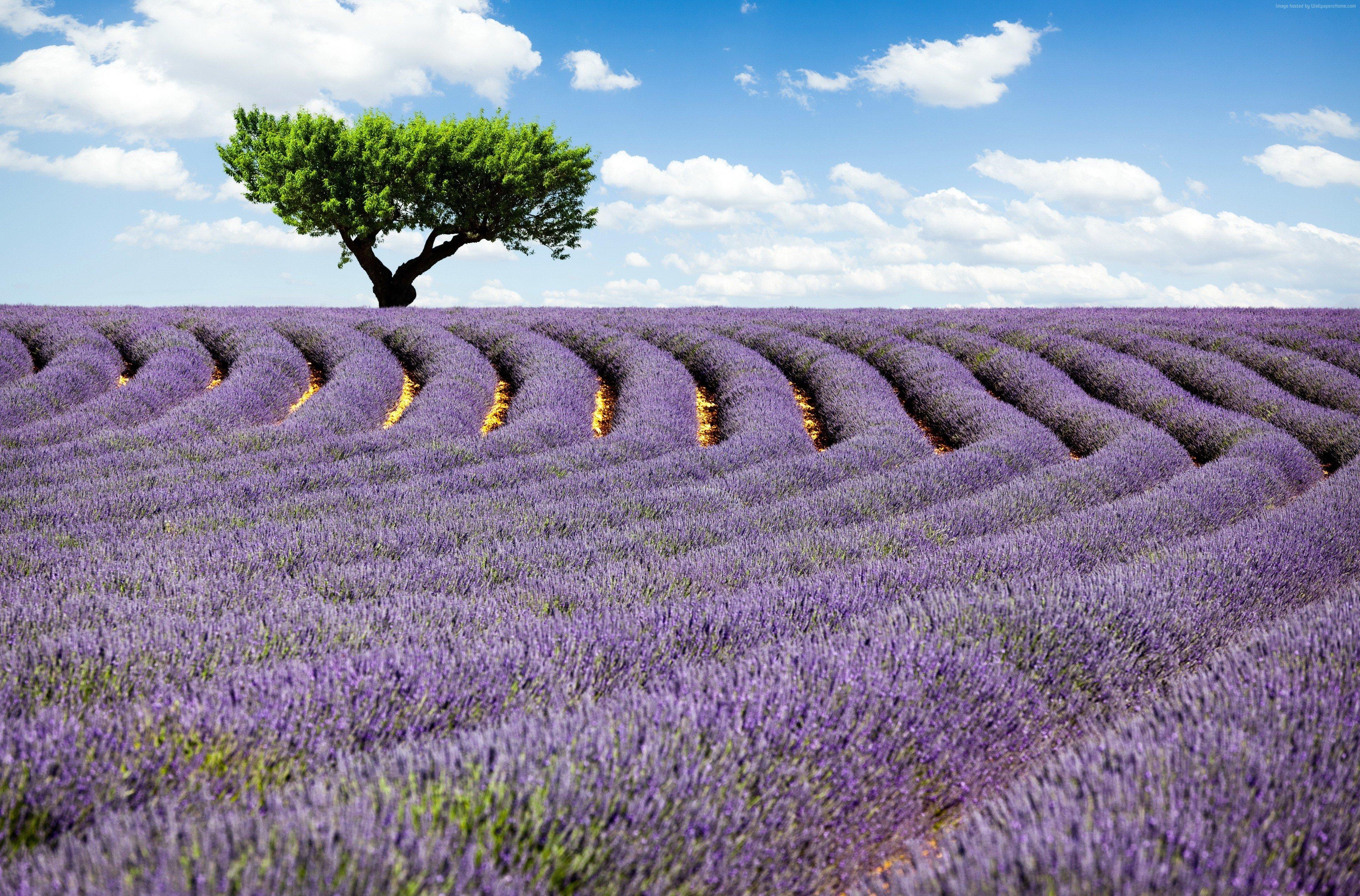 111239 France Lavender field tree 4k Meadows lavender 3872x2551
