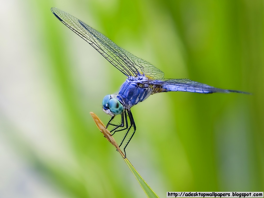Dragonfly Animal Desktop Wallpapers 1024x768