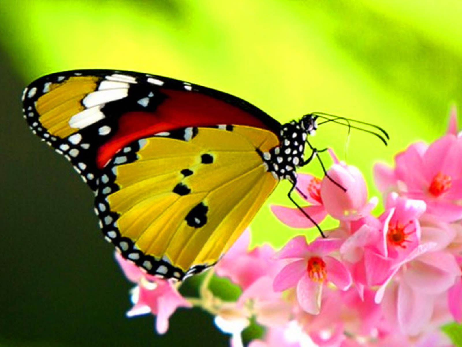 Beautiful Butterflies Wallpapers Beautifulbutterflydesktop 1600x1200