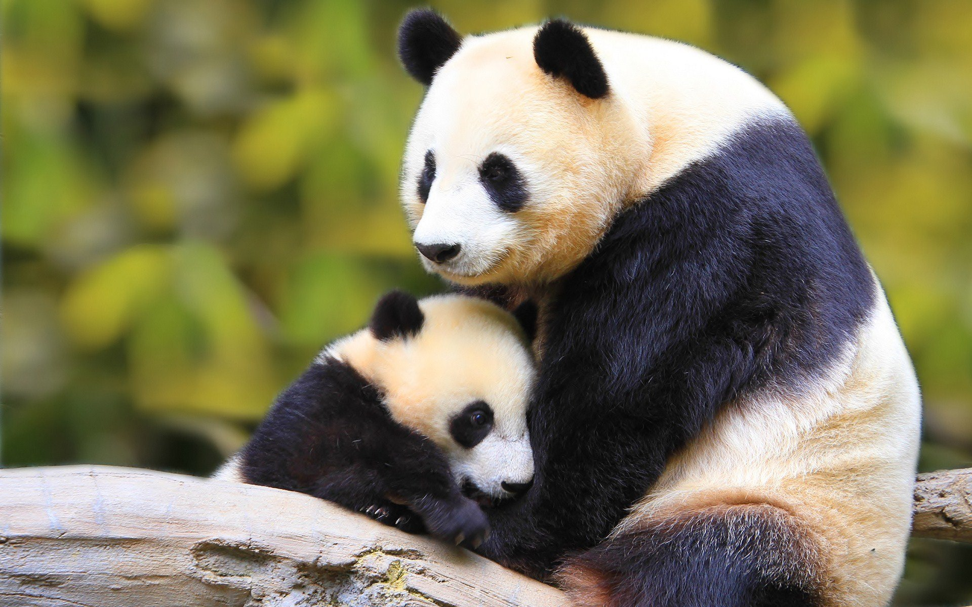 geographic panda forest baby green hd wallpapers wallpaper background 1920x1200