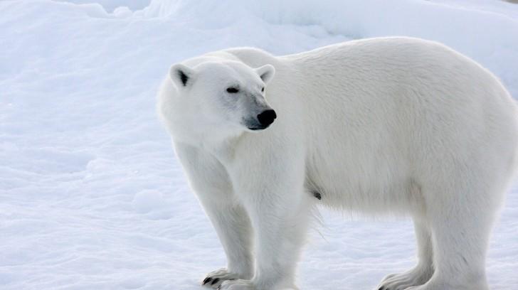 Polar Bear On The Snow Wild Animal 728x408