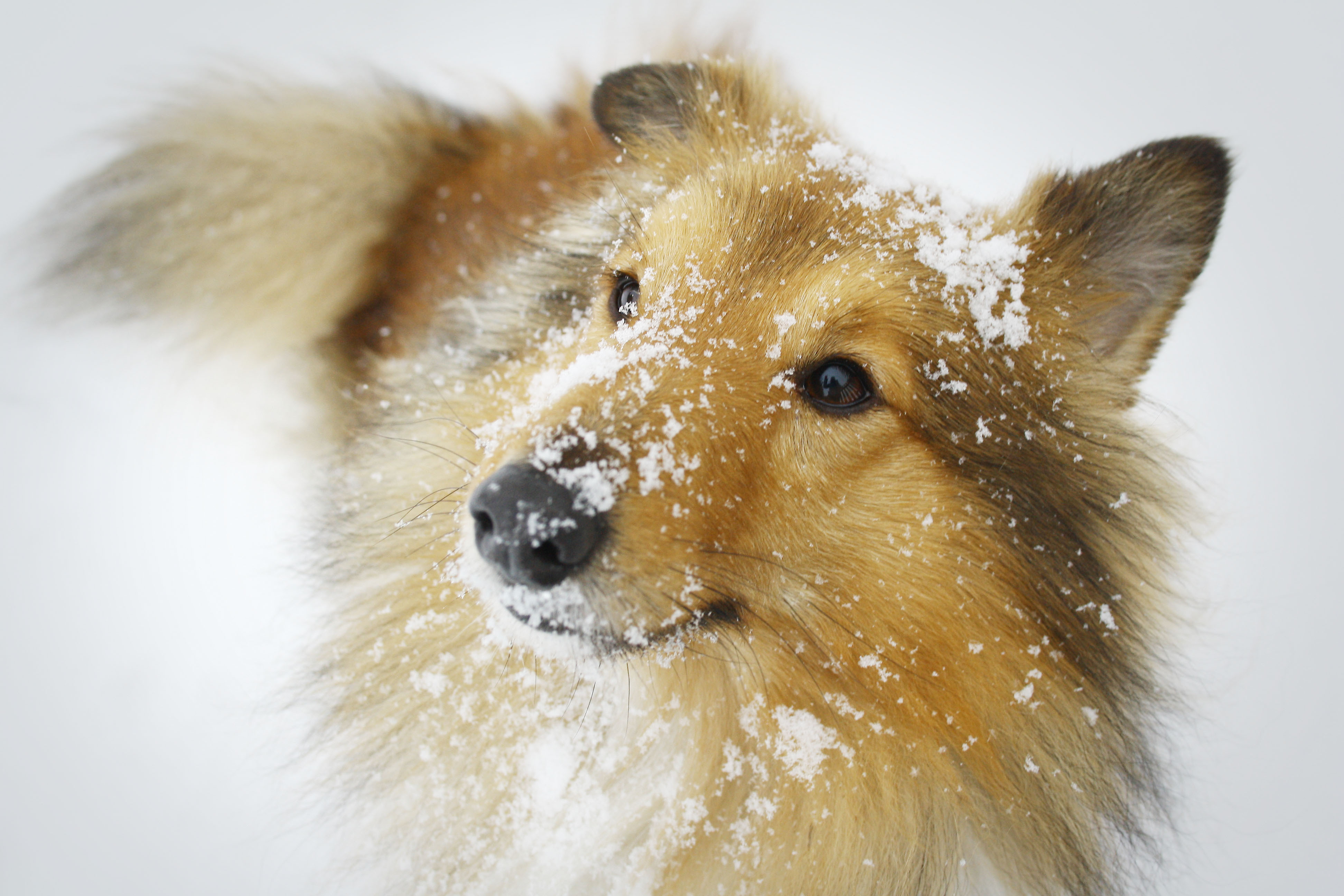 Sheltie breed dog in the snow wallpapers and images   wallpapers 3888x2592