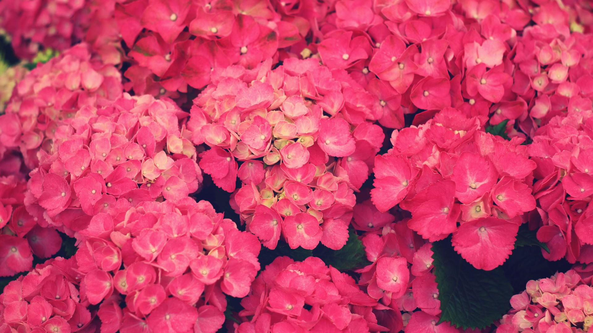 1920x1080 Pink Flowers desktop PC and Mac wallpaper 1920x1080
