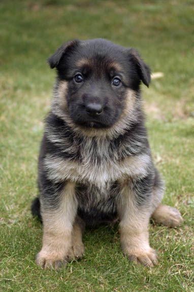 German Shepherd Puppies Pictures Puppies Pictures Online 382x576